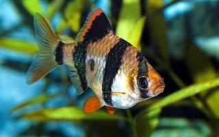 Барбус суматранский: вездесущий малыш или агрессор в аквариуме?