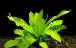 Видовое разнообразие эхинодорусов, их особенности
