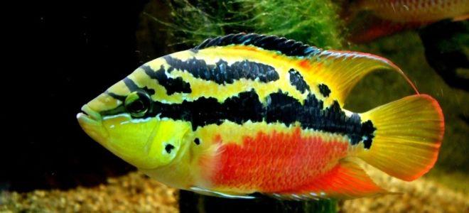 Цихлазома сальвини: королева аквариума или тайный охотник?