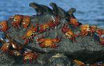 Разнообразие видов крабов: от «горошины» до гиганта