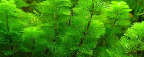 Аквариумное растение Кабомба — уход и содержание в аквариуме