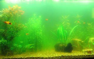 Чистая вода – показатель благополучия жизни в аквариуме