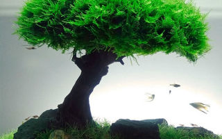 В чем плюсы посадки яванского мха, основные отличия растения
