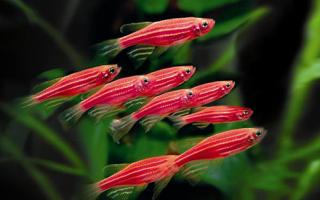 Аквариумные рыбки данио — содержание, уход, разнообразие видов