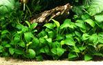 Анубиас нана – причины популярности и правила выращивания