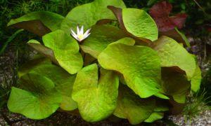 Красивая аквариумная нимфея лостус – как ухаживать и разводить