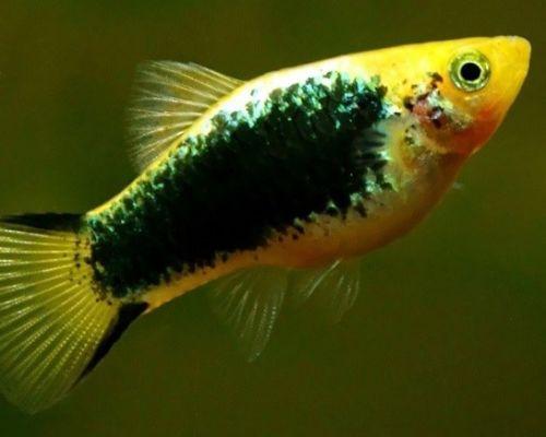 Пецилии: живая радуга в аквариуме