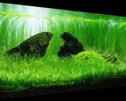 Лилеопсис бразильский: создай в своем аквариуме натуральный газон