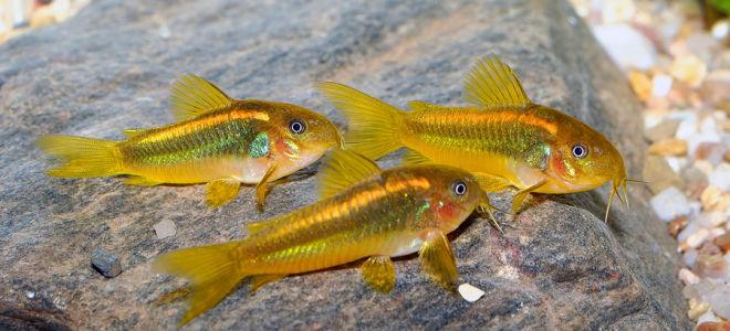 Коридорас золотистый: загадочный обитатель дна аквариума