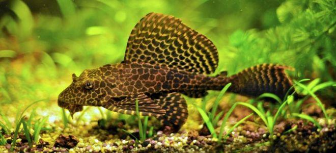 Парчовый птеригоплихт: красивая рыбка с характером