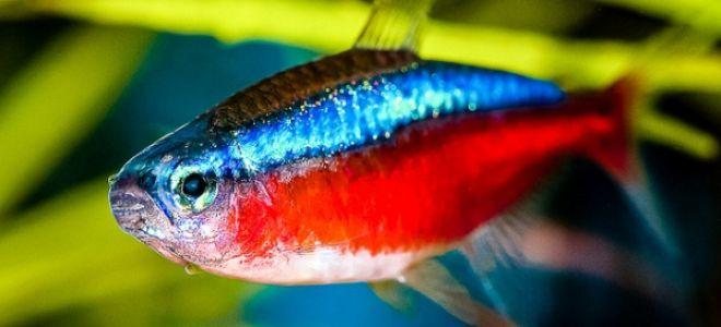 Аквариумные рыбки Неоны: кем представляет он сам себя в подводном мире?