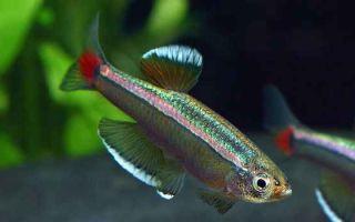 Красота и необычность рыбки кардинал в аквариуме