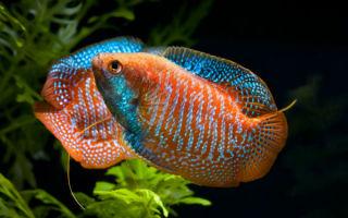 Рыбка лялиус: красивый добряк либо загадочный любитель воздуха?