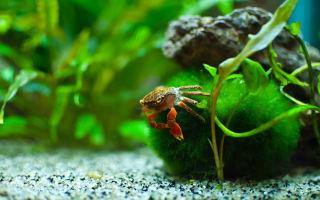Крабы – красивые питомцы домашних аквариумов
