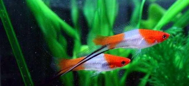 Живородящие рыбки меченосцы: как же продолжается их жизнь?