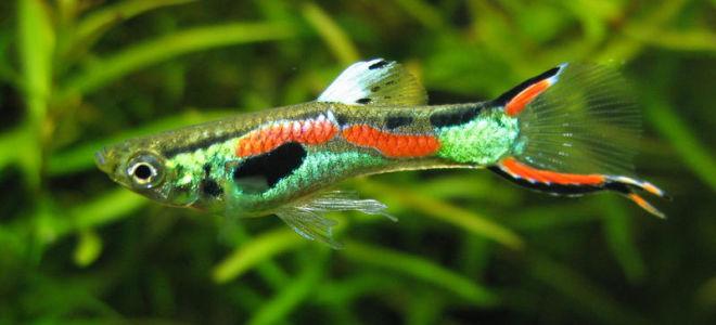 Эндлера гуппи – не просто яркие позитивные малыши, а полноправные члены подводного коллектива