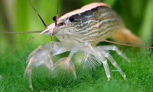 Креветки фильтраторы – особенности содержания и размножения