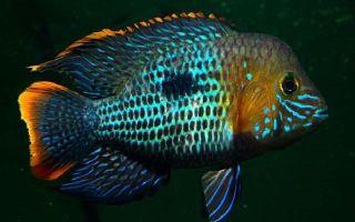 Акара бирюзовая – рыбка со сложным характером и заботливым сердцем.