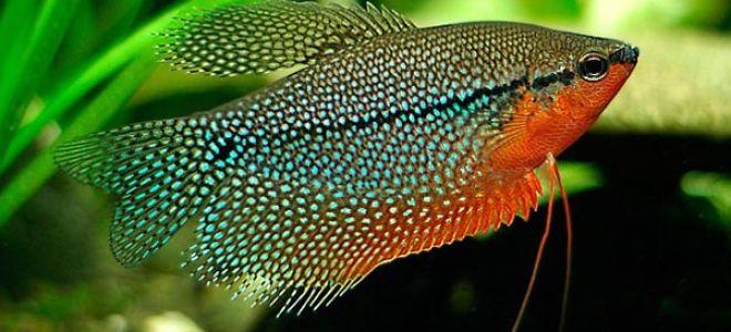 Лабиринтовые рыбки: чем вызвана их популярность?