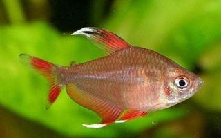 Орнатус — рыбка фантом — Виды орнатусов | Кто такой совсем не тот Орнатус