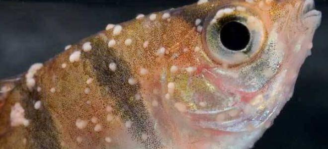 Ихтиофтириоз: насколько опасна «манка» на теле рыб?