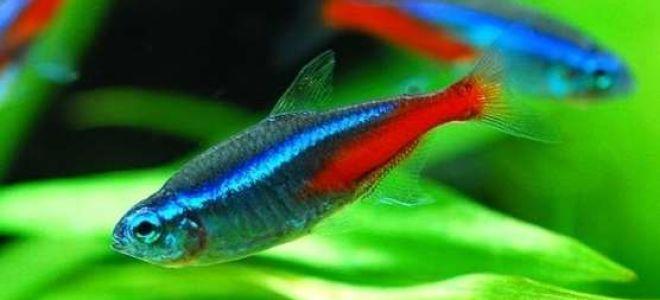 Размножение неонов в общем аквариуме: стоит ли рисковать?