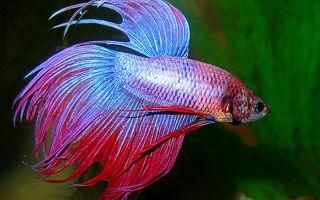 Рыбка петушок: как обеспечить её здоровье?