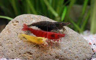Разнообразие видов аквариумных креветок, содержание и размножение