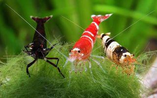 «Домашние» креветки: особенности содержания в аквариуме