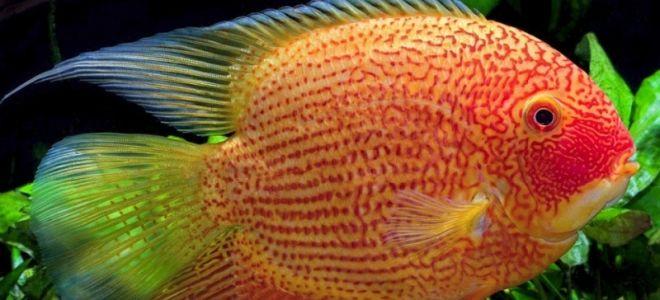 Цихлазома северум – описание необычной рыбки и возможности разведения