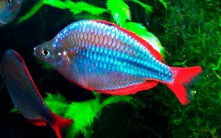 Живая радуга в аквариуме: неоновые радужницы и их виды