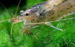 Компания креветок амано – залог чистоты в аквариуме
