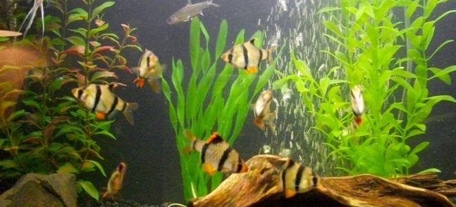 Барбус: рыбка-бандит или милое веселое создание?