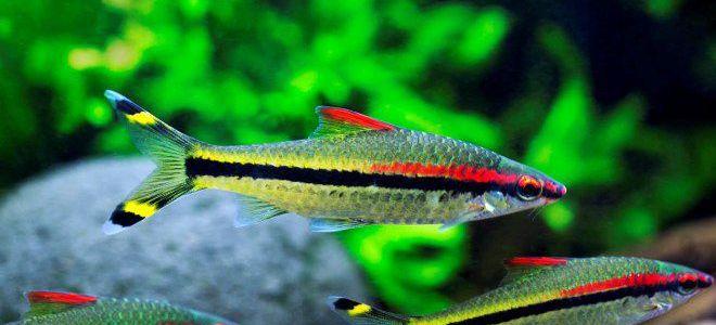 Барбус денисони: маленькая искорка в водном мире