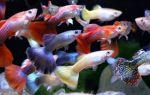 Гуппи — рыбка для начинающего аквариумиста, содержание, уход