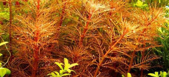 Перистолистник красный: полный набор осенних расцветок в аквариуме