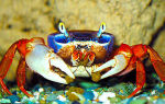Условия содержания радужного краба в аквариуме