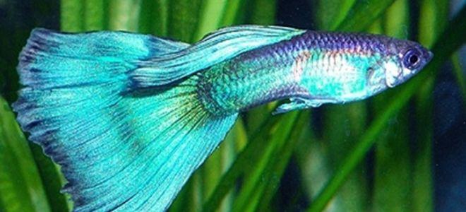 Гуппи зеленый неон: отличительные черты и условия разведения рыбок