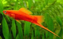 Аквариумная рыбка меченосец- разновидности и их содержание