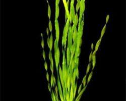 Аквариумное растение валлиснерия: классика аквариумных растений