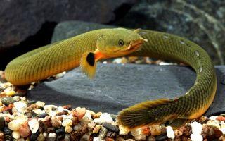 Калабарский каламоихт: опасное земноводное или оригинальная рыба?