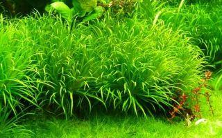 Бликса японская: как с её помощью придать аквариуму изюминку