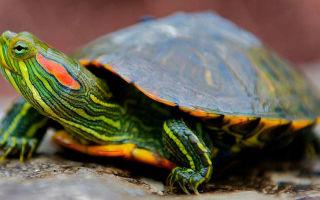 Как сделать жизнь красноухой черепахи в акватеррариуме долгой и счастливой