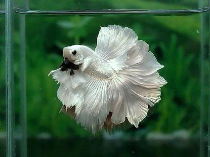 Рыбка петушок белый красивый