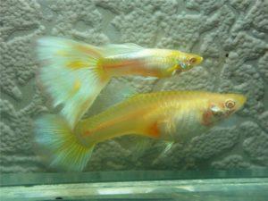 Гуппи самец и самка желтые