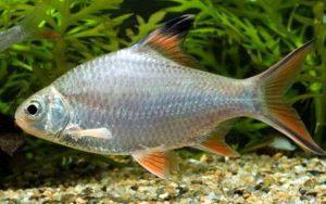 Лещевидный или шваненфельда(Barbus schwanenfeldi)