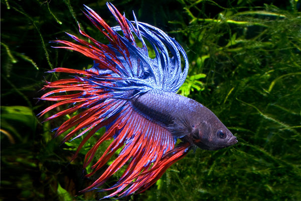 Красивый петушок самец