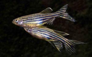 Рыбки данио рерио