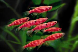 Рыбки данио Розовые