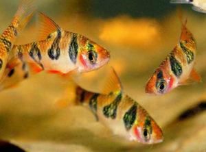 Аквариумная рыбка барбус Ромбовый